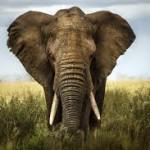 Al ser liberado tras 50 años de cautiverio, este viejo elefante hizo algo que no creerás