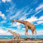 El increíble valor de una mamá jirafa frente a unos leones hambrientos