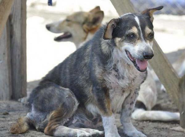 rescue-dogs43