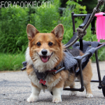 Este perrito discapacitado goza de una segunda oportunidad gracias a su GENIAL dueño