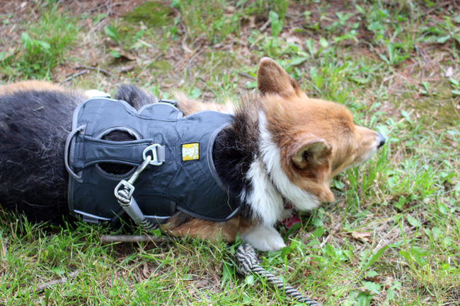 The RuffWear harness Bentley wears on a regular basis helped with designing his new set of wheels