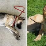 El antes y el después de perros rescatados del abandono